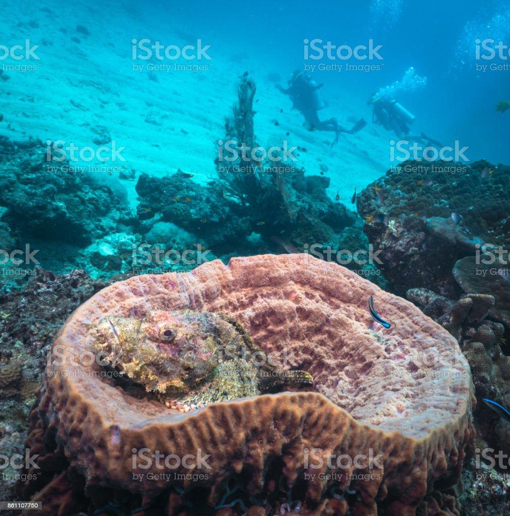 Duikers met Scorpionfish (Scorpaenopsis oxycephaia) in vat spons koraal (Xestospongia testudinaria) foto