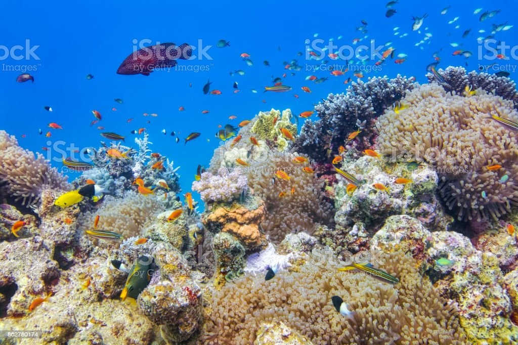 Scuba Diving on beautiful coral reef with lot of tropical Fish ( Clownfish, Sea Anemone, Anthiadinae, Sea goldie ) on Red Sea nearby Marsa Alam stock photo