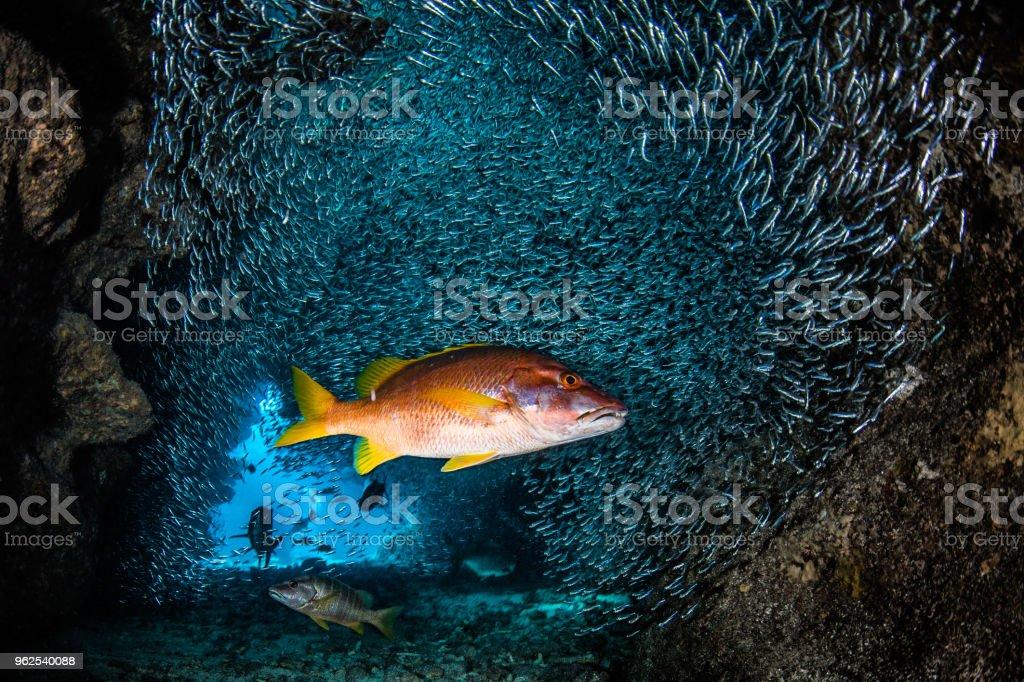 Mergulho autônomo - Foto de stock de Animais caçando royalty-free