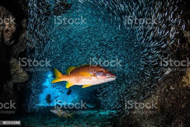 Foto de Mergulho Autônomo e mais fotos de stock de Animais caçando