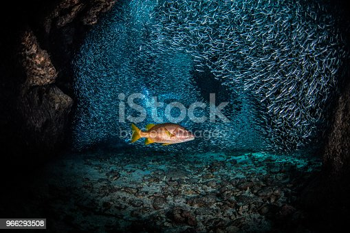 Red Snapper surrounded with schools of silverside fishes in the Carrebbean sea near Cayman Islands.