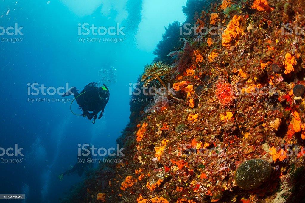 Scuba diving  Sea life  Red scorpionfish   Spral tubeworm  Orange sponge zbiór zdjęć royalty-free