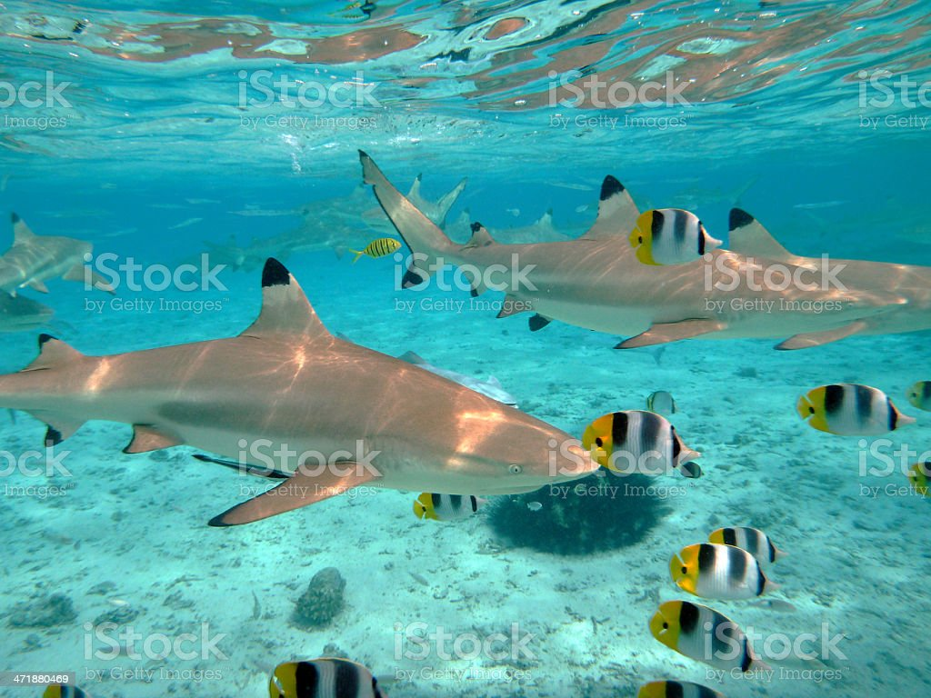 Scuba diving with sharks stock photo