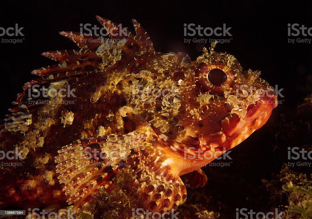 Sculpinfish stock photo