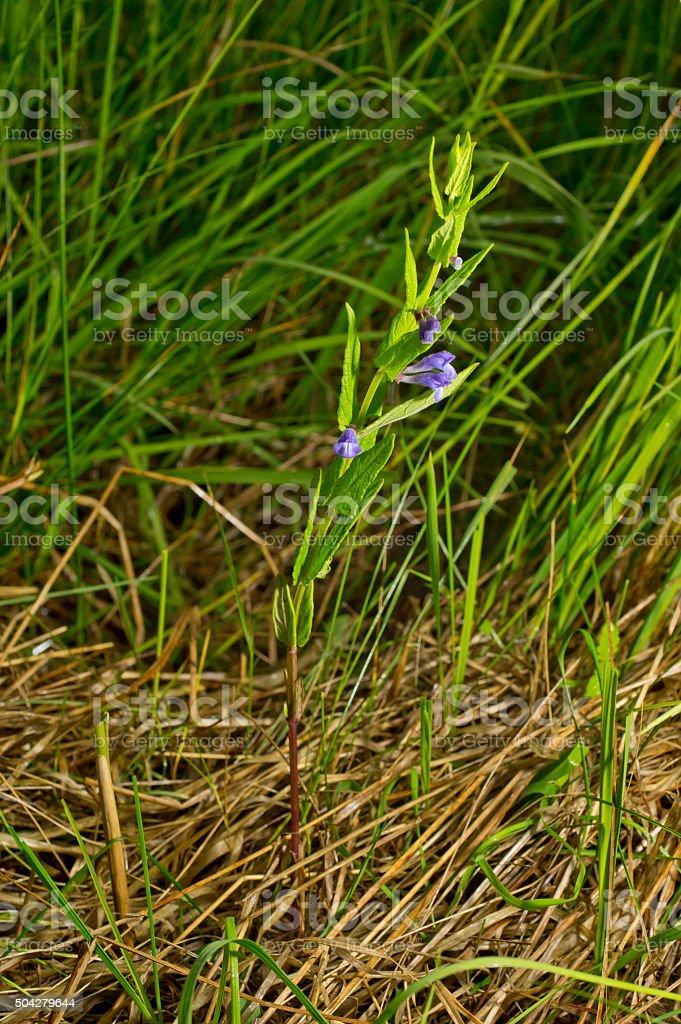 Scutellaria galericulata, common skullcap, marsh skullcap, hooded skullcap. Blooming flower stock photo