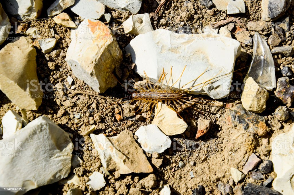 Scutigera Coleoptera runs on the ground with stones. The Flycatcher. Centipede flycatcher, insect predator stock photo
