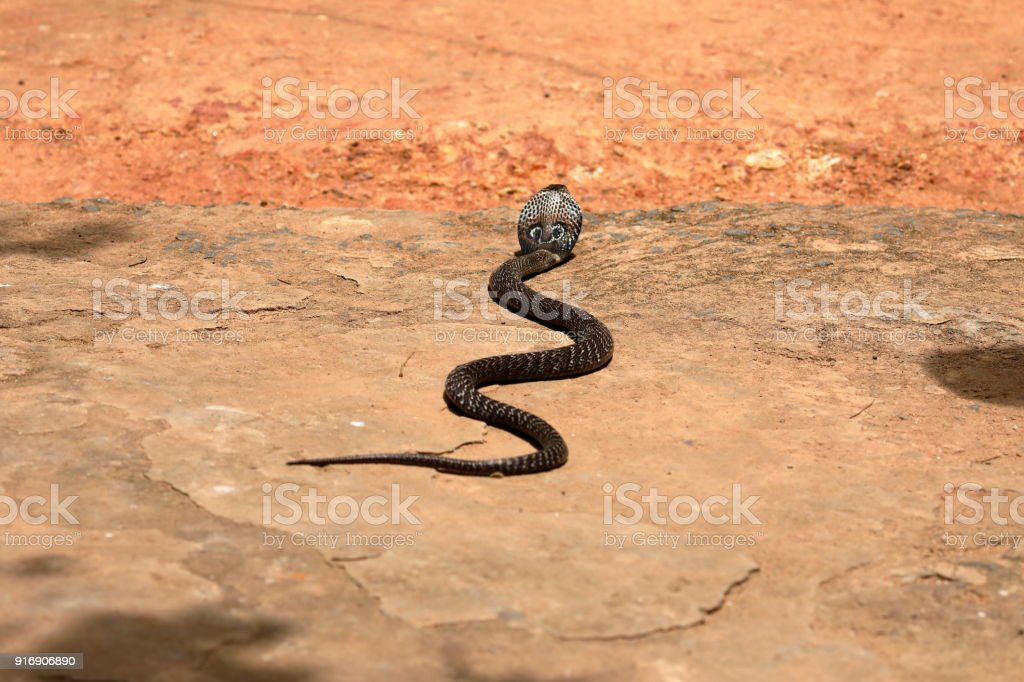 Südasiatische Kobra oder Brillenschlage in Sri Lanka stock photo