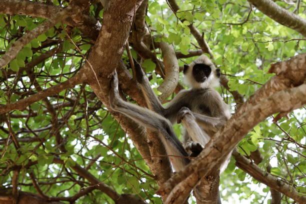 Südliche Hanuman Languren im Yala Nationalpark in Sri Lanka Südliche Hanuman Languren im Yala Nationalpark in Sri Lanka tufted gray langur stock pictures, royalty-free photos & images