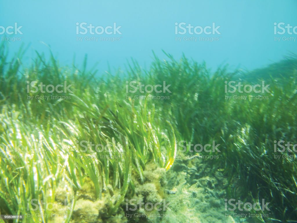 Deniz yosunu sualtı arka plan ünitesi izole stok fotoğrafı