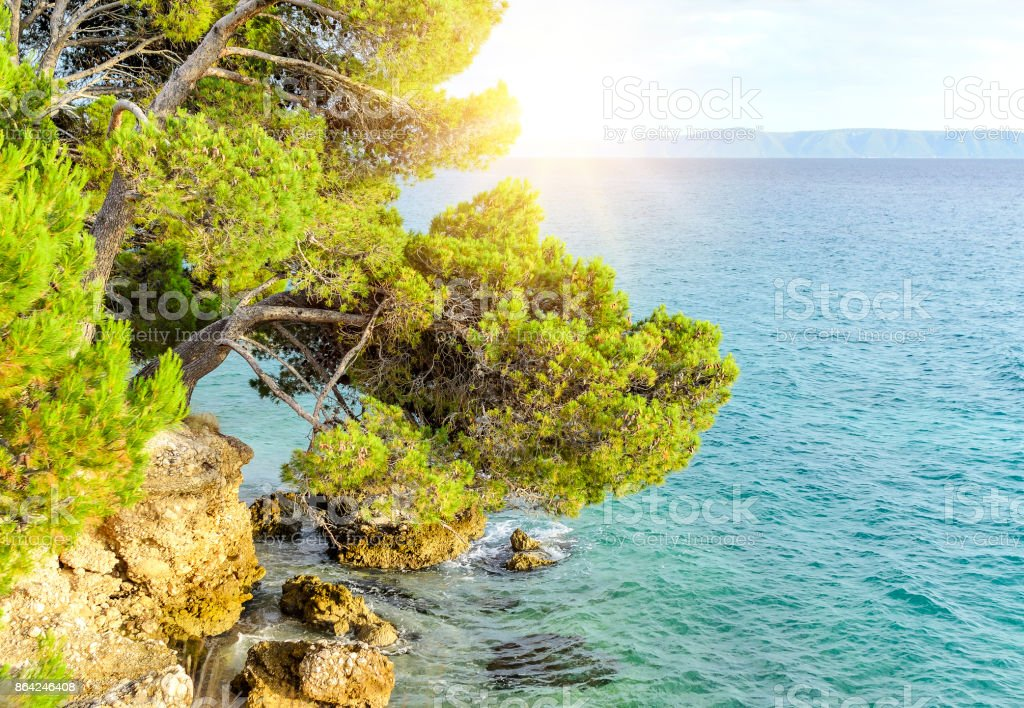 Sea and pines on the shore. royalty-free stock photo