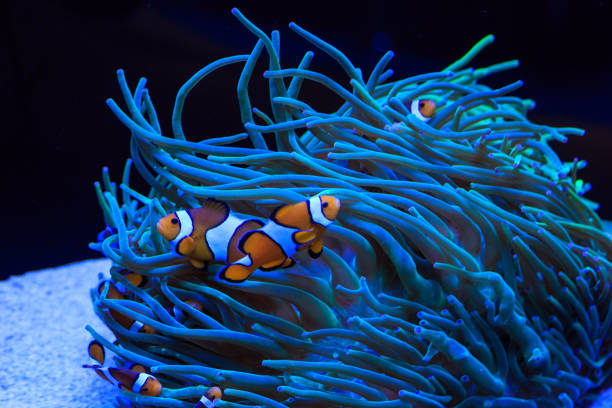 sea anemone and anemone fish sea anemone and anemone fish symbiotic relationship stock pictures, royalty-free photos & images