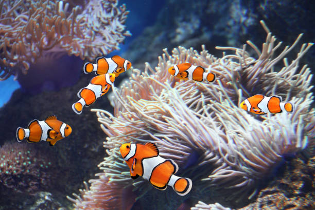 Sea anemone and clown fish Tropical sea anemone and clown fish (Amphiprion percula) in marine aquarium anemonefish stock pictures, royalty-free photos & images