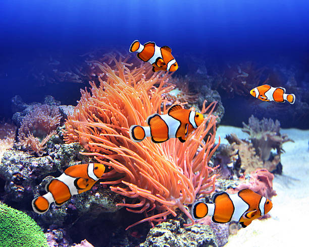 Sea anemone and clown fish Sea anemone and clown fish in ocean anemonefish stock pictures, royalty-free photos & images