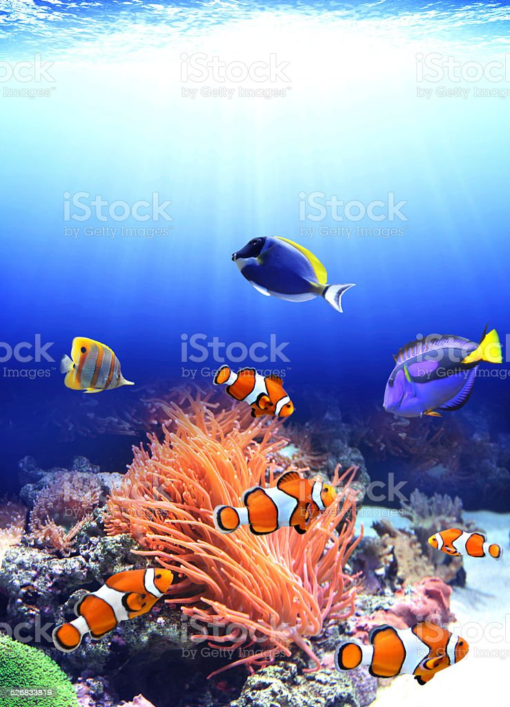 Sea anemone and clown fish stock photo