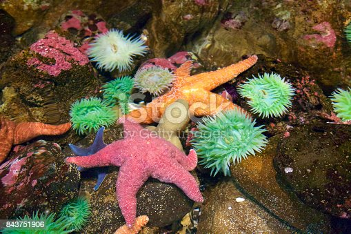 Sea anemone and starfish in a pacific northwest tide pool
