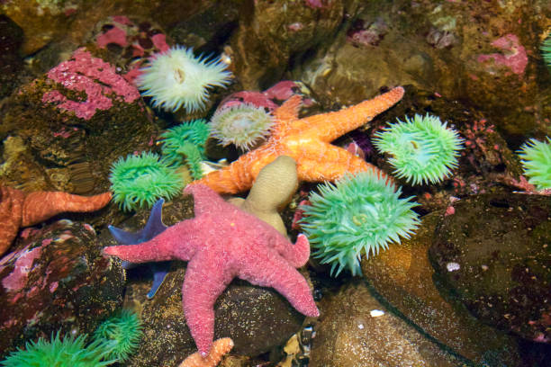 Sea anemone and starfish in a tide pool stock photo