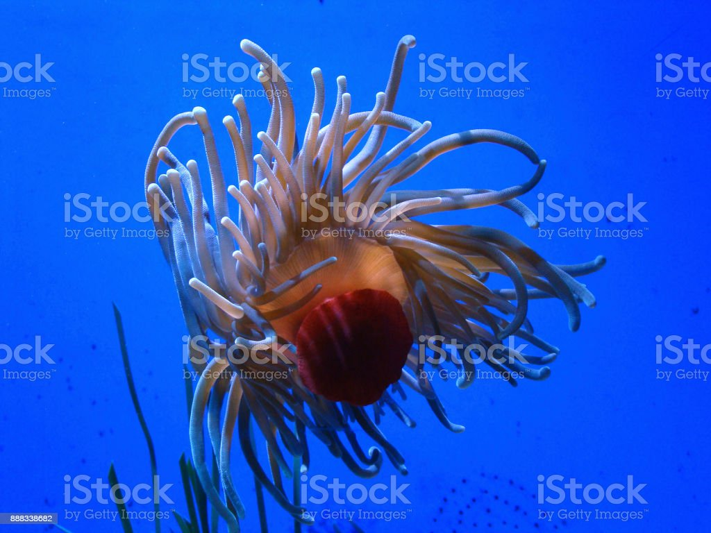 Sea Anemone in blue water stock photo