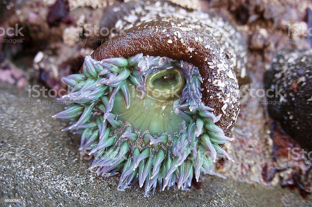 Sea Anemone royalty-free stock photo