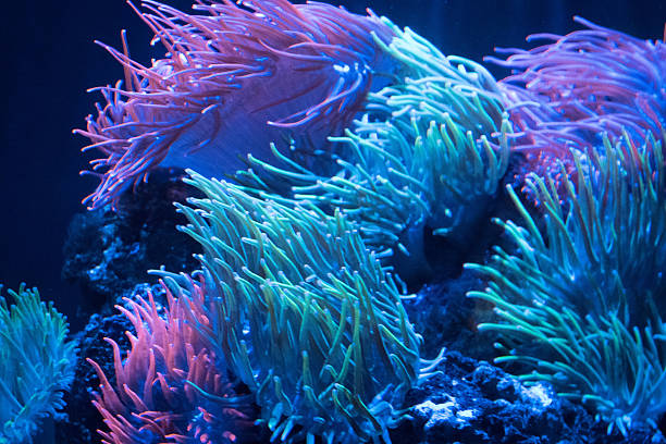 Sea anemone rainbow current Rainbow sea anemone dancing in tropical reef sea current sea anemone stock pictures, royalty-free photos & images