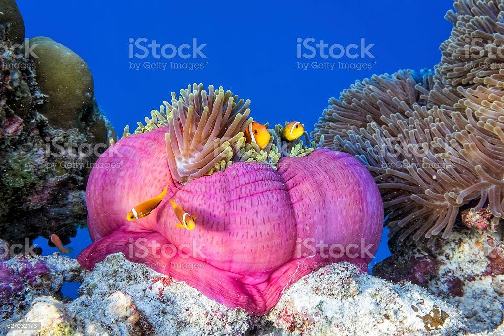 Sea anemone with shoal of clownfish on maldives stock photo