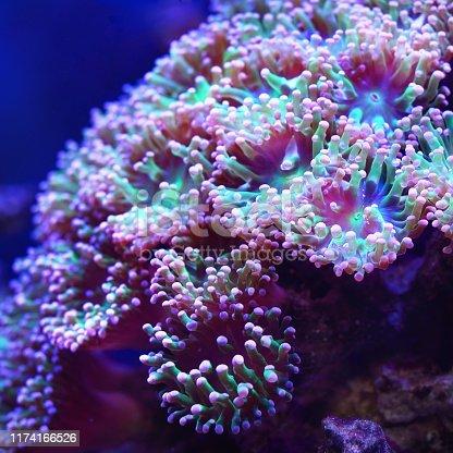 istock Sea anemones and corals in marine aquarium 1174166526