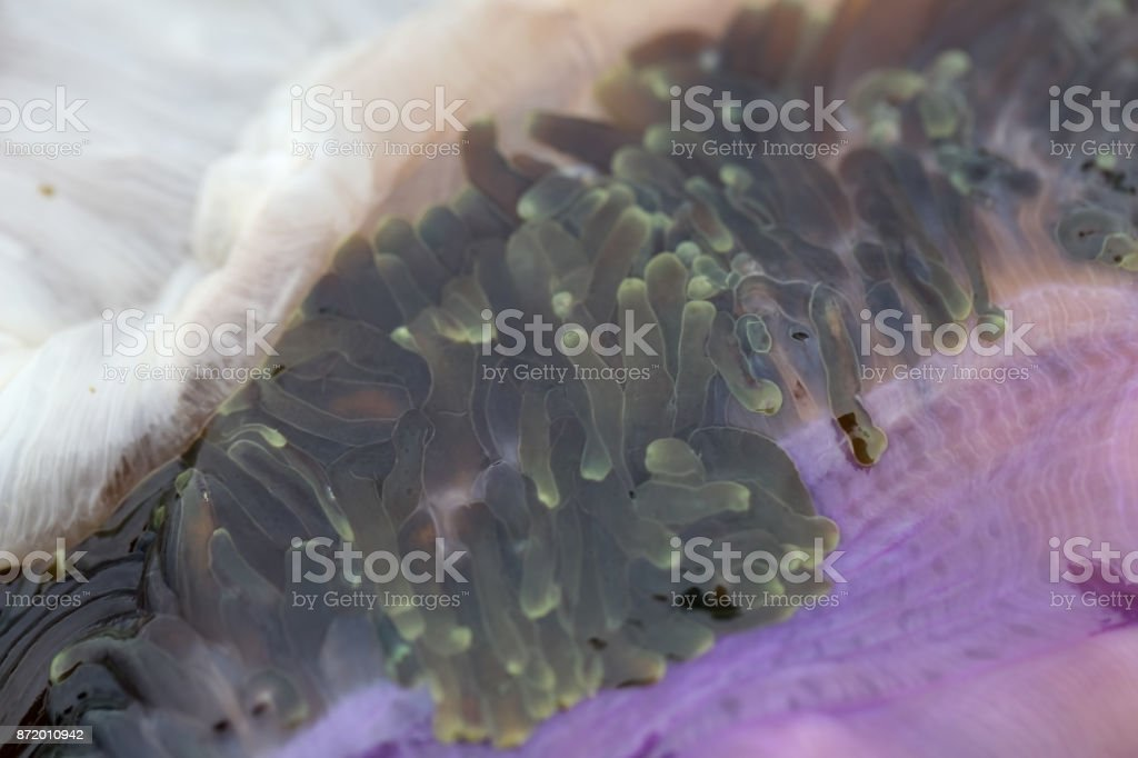 Sea anemones are a group of marine,Sea anemones are classified in the phylum Cnidaria, class Anthozoa, subclass Hexacorallia for education. stock photo