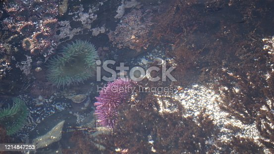 Tidal pools at low tide are fabulous discovery zones on the Oregon coastline.  These sea Anemones ar brightly colored and plentiful for viewing.  The sit among the shells tossed by the waves and cling to rocky outcrops.  These are underwater and on a sunny day a little hazy but beautiful still.