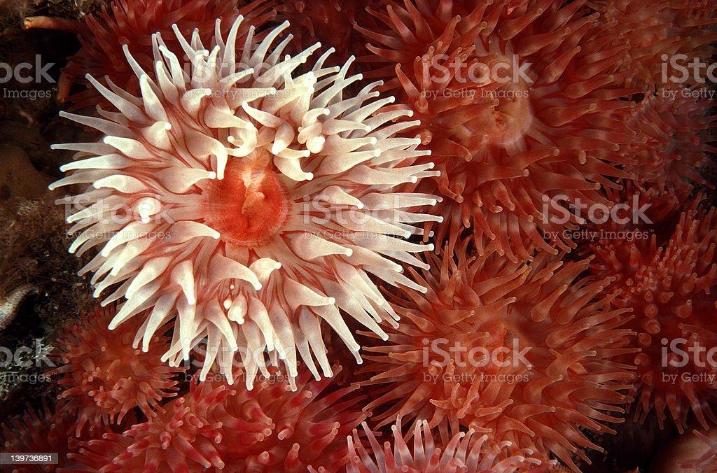 Sea anemones royalty-free stock photo
