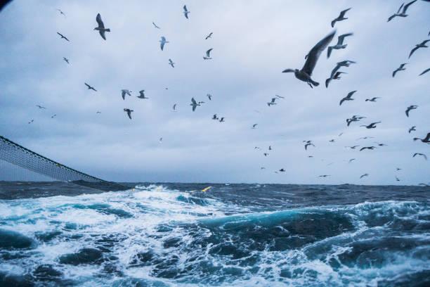 aquatische zeevogels: feeding frenzy gedrag - northern gannet stockfoto's en -beelden