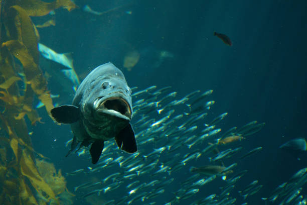 Sea Bass Swimming stock photo