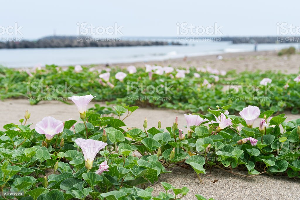 Sea bells blooming in the sea stock photo