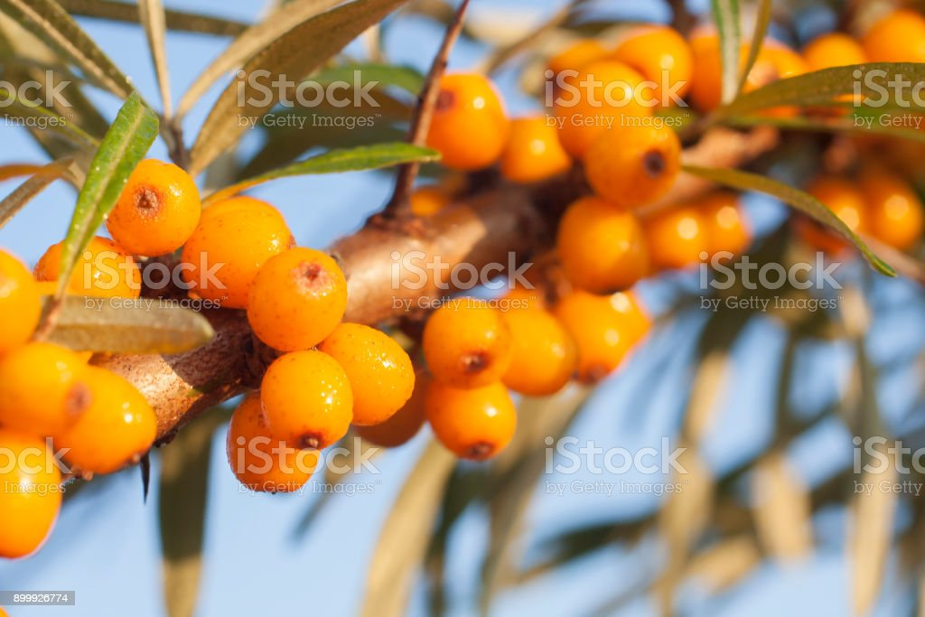 Sea berry on branch close up background. stock photo