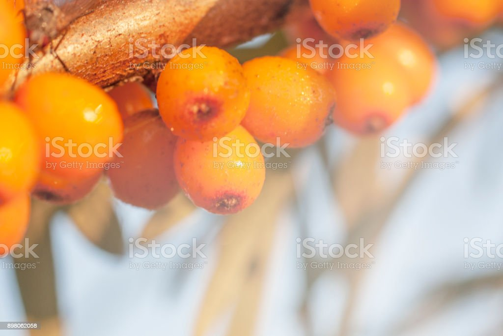 Sea berry on branch stock photo