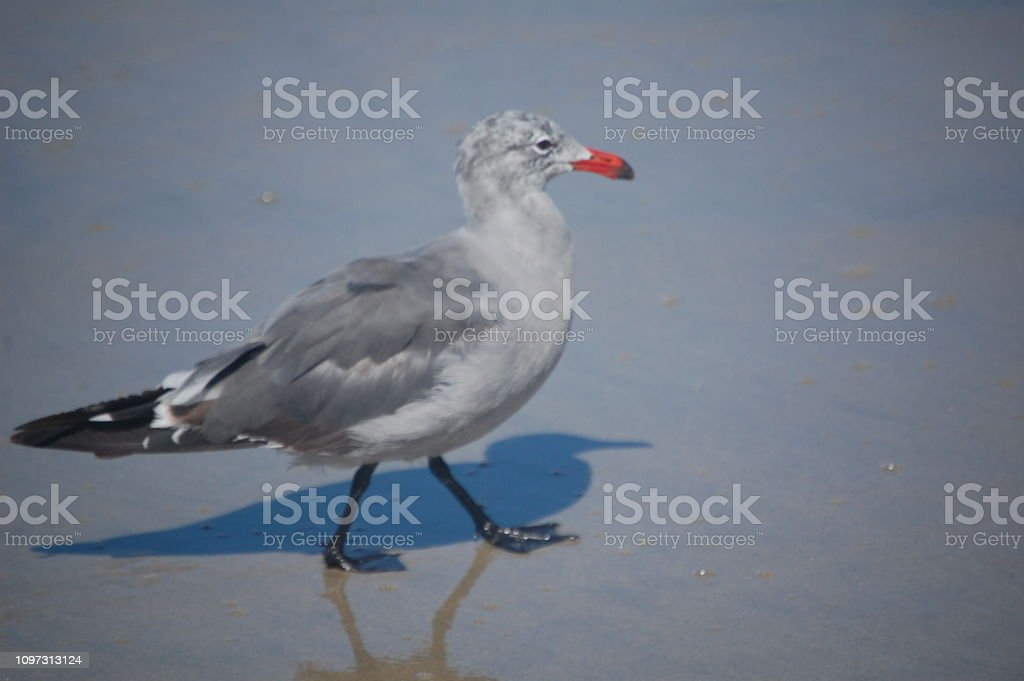 Sea Bird in the surf on the beach on the west coast of the United...