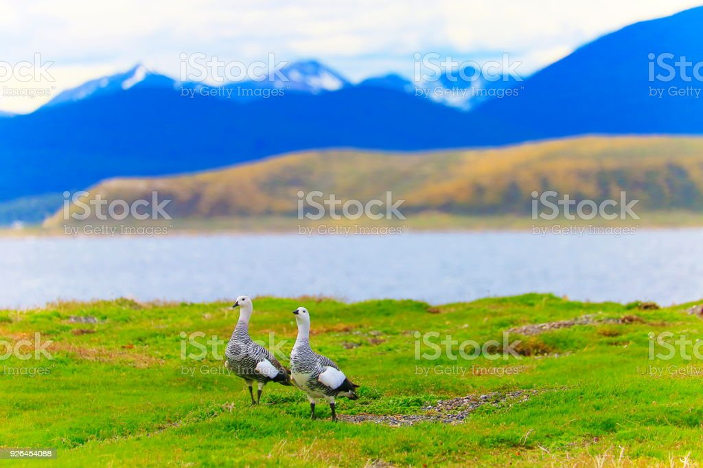 Sea birds couple in Idyllic Beagle Channel, Ushuaia - Tierra Del fuego, Argentina stock photo