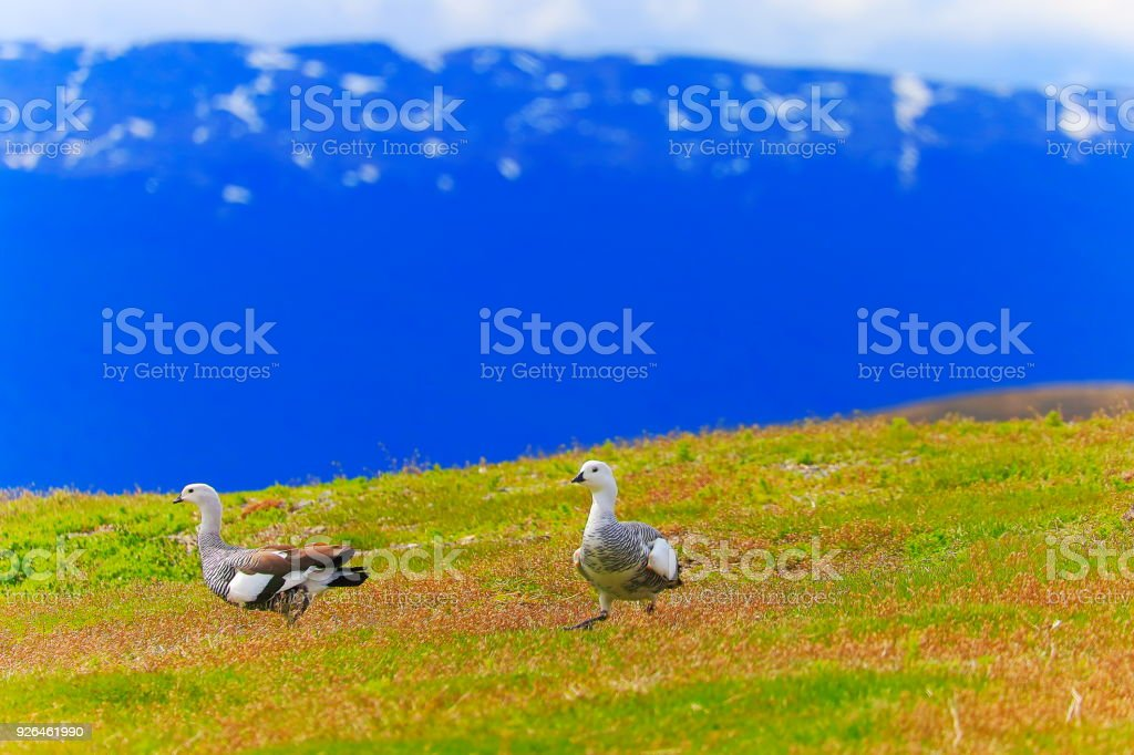 Sea birds couple walking in Andes landscape, Ushuaia - Tierra Del fuego, Argentina stock photo