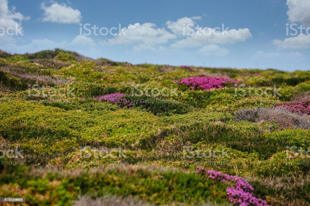 Deniz çiçek bush royalty-free stock photo