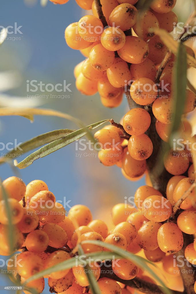Sea buckthorn berries on the plant royalty-free stock photo
