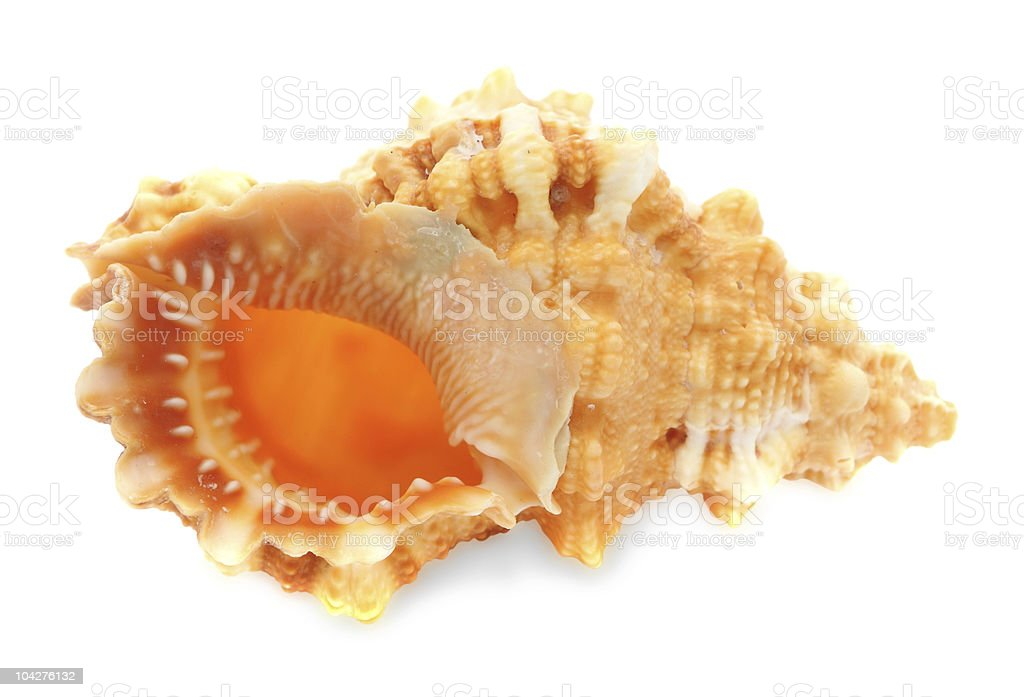 Sea clam-shell isolated on white stock photo