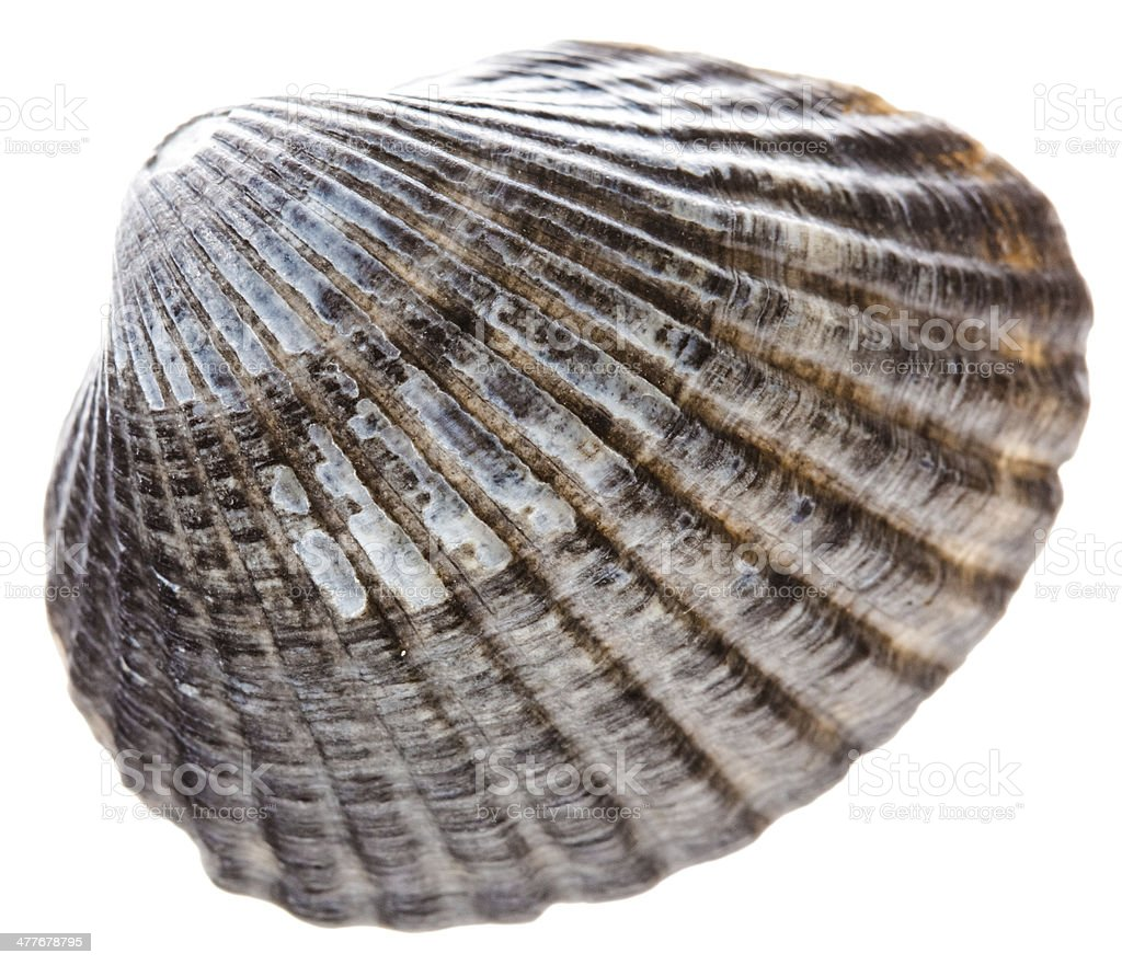 Sea Cockleshell Isolated On White Background royalty-free stock photo