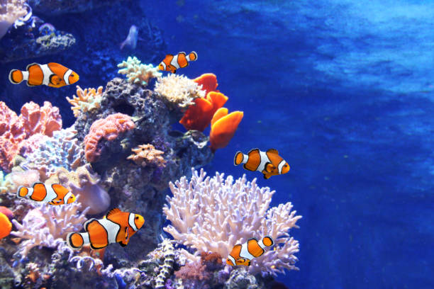Sea corals and clown fish Tropical sea corals and clown fish (Amphiprion percula) in marine aquarium. Copy space for text sea anemone stock pictures, royalty-free photos & images
