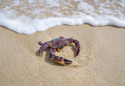 Sea crab in the sand near the water.