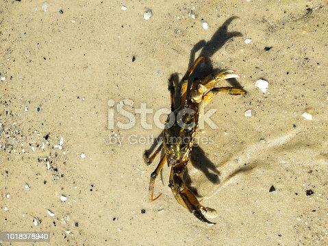 Sea crab on the beach