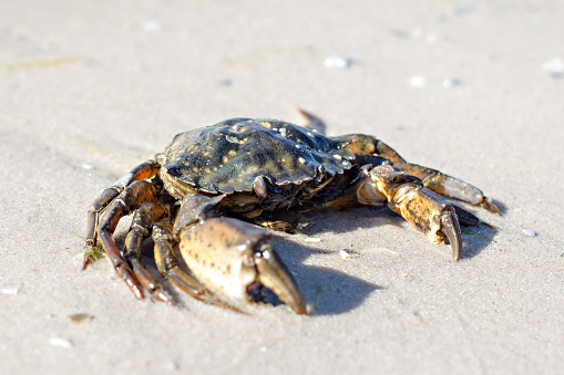 Sea crab on the shore.
