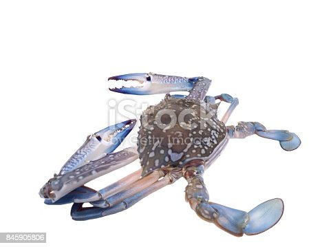 Blue swimmer crab isolated on white