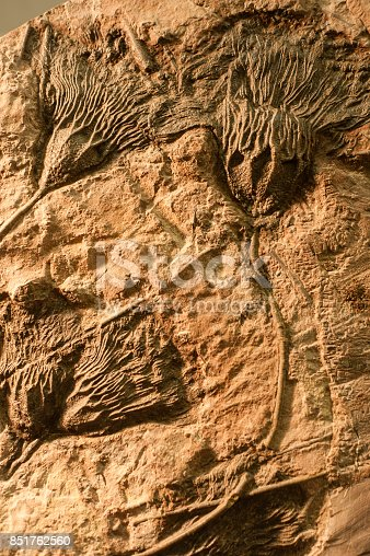Section of ancient rock with fossilized sea crinoids.