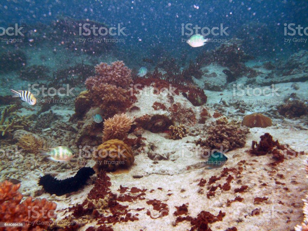 Sea Cucumber at Redang Islands tropical underwater scenes. stock photo
