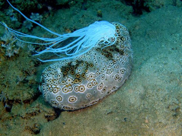 Sea cucumber stock photo
