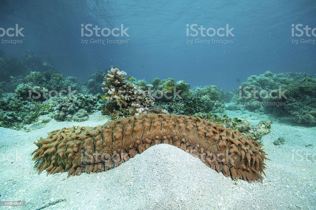 Sea cucumber Sea cucumber Australia Stock Photo