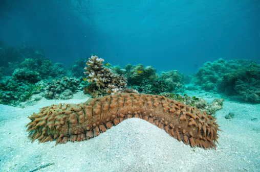 Sea Cucumber Stock Photo - Download Image Now